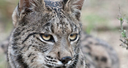 Iberian lynx faces extinction in just 50 years, say scientists