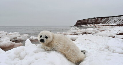 Global warming could spell more bad news for baby seals