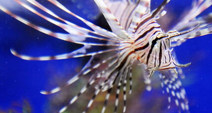 Predatory lionfish now a confirmed invader in the deep Atlantic