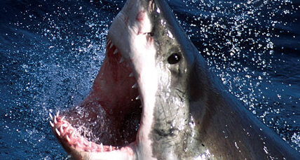 Great white shark packs its lunch in its liver before a big trip