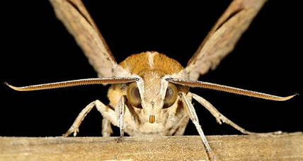 How hawkmoths jam the sonar signals from bats