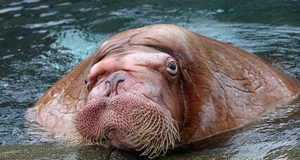 25 walruses killed in Alaska: Another poaching case?