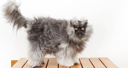 Colonel Meow gets Guinness hairiest cat title, scaring a housekeeping mom