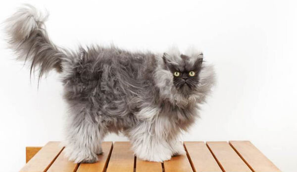 colonel meow has earned his place in the new guinness world records 2014 book out on september 12th for having the longest fur on a cat smallest cat in