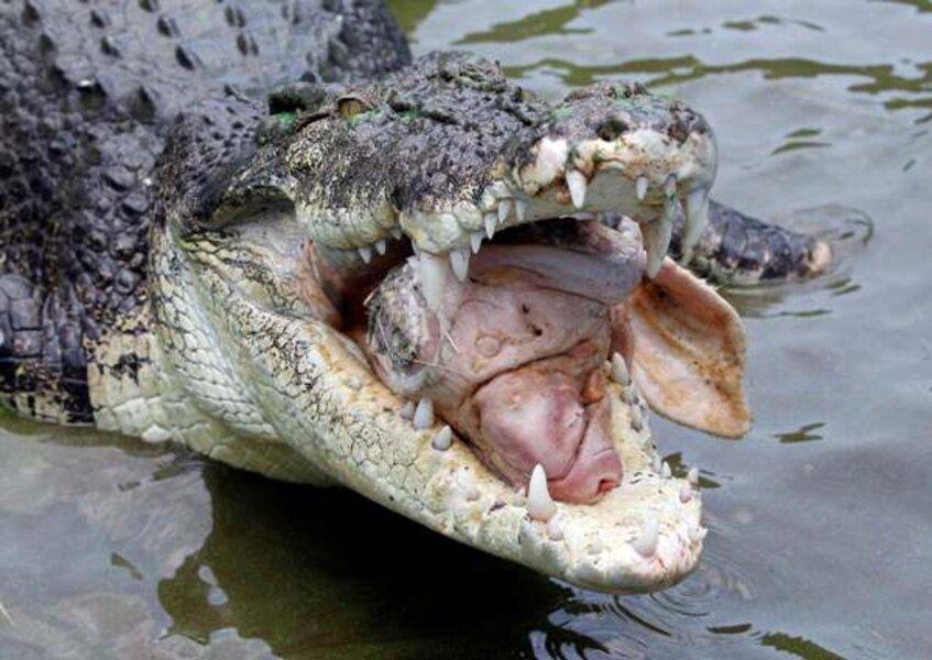 Image result for crocodile attack