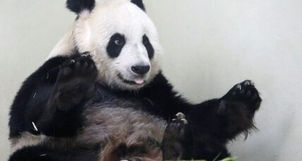 First baby pandas for UK? Maybe, zoo says.