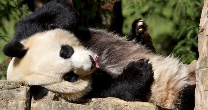 National Zoo has new baby panda