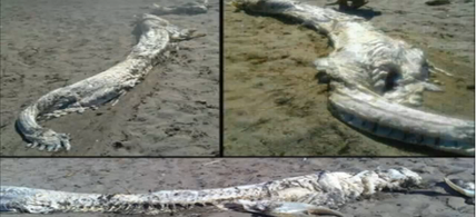 Oarfish? Strange, Spanish fish carcass has been identified.