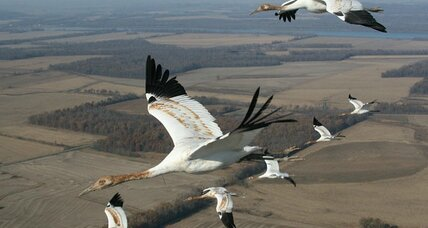 How whooping crane youngsters learn from their elders