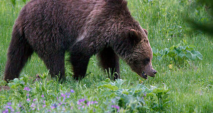 Yellowstone grizzly attacks leave four injured in two incidents