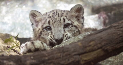 Snow leopard cub goes on view at Bronx Zoo