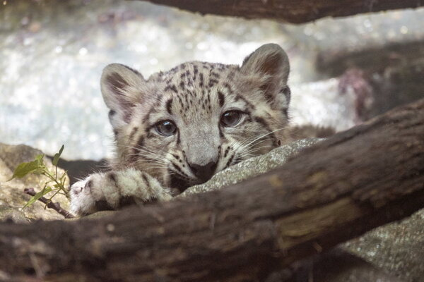 The Young Snow Leopard Is Newest Resident At Bronx Zoo In New York Unnamed 17 Pound Cub Born On April 9 First Son Of Leo