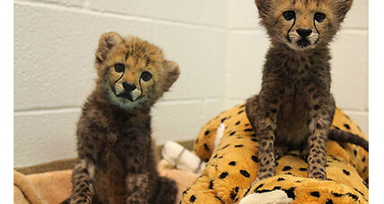 Cheetah cubs (and their puppy pal) join Dallas Zoo
