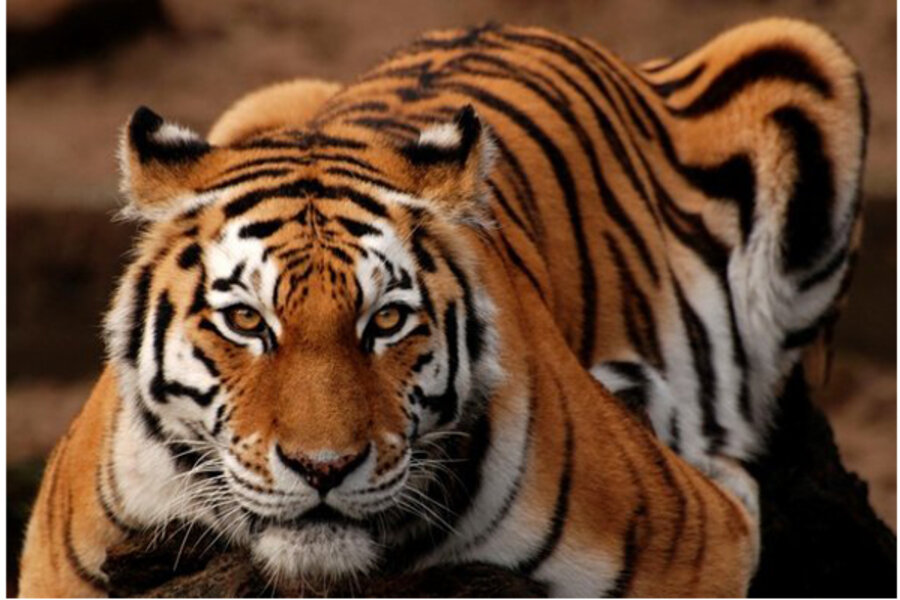 House Cats Share DNA with Tigers