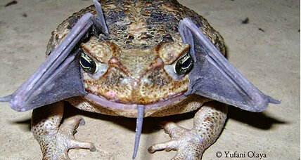 Toad noms on bat, poses for photo