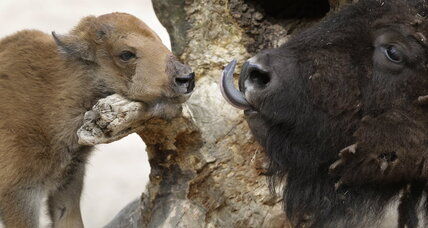 Bison, beavers are making a comeback, says new European report