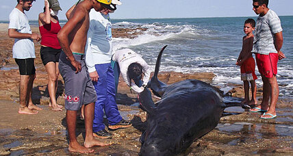 In Brazil, massive pod of dolphins beached