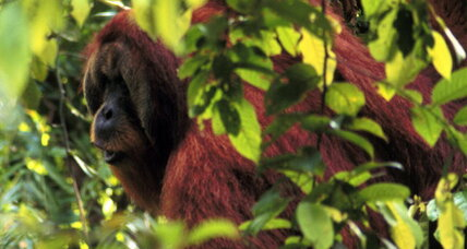 Orangutans plan their trips in advance, without Siri