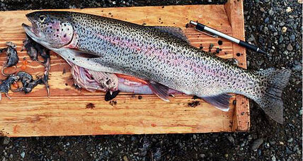 Trout eats shrews? Small trout ate 20 mouse-sized shrews, say scientists.
