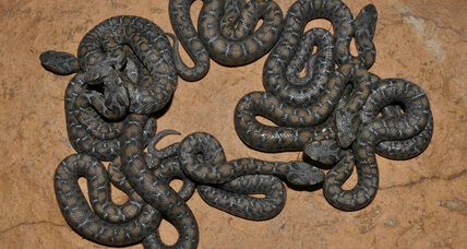 Nine adorable venomous vipers born at St. Louis Zoo