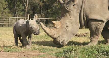 Listing white rhinos as endangered could save all rhinos, conservationists say