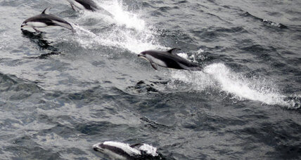 Name that mammal: Researchers find new humpback dolphin species near Australia