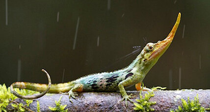 No lie: Pinocchio lizard turns up in Ecuador