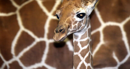 Giraffe riddle rouses Facebook users' 'inner children'