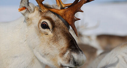 Reindeer eyes turn blue in winter, study finds