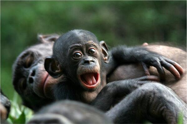 Need a hug? Study details human-like way bonobos show ...