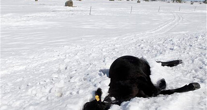 South Dakota cattle ranchers hit by blizzard face new challenge: Disposal