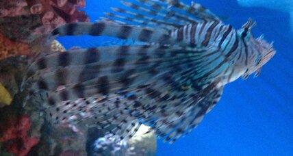 Lionfish invasion: An unabated siege of the Atlantic