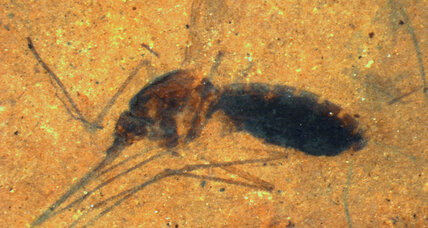 46-million-year-old mosquito filled with blood is a scientific first (+video)