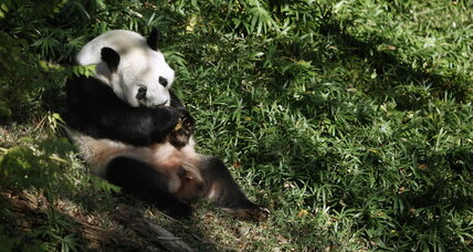 Why giant pandas are unusually resilient