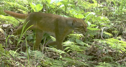 Rare cat species spotted in Borneo