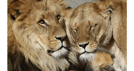 Lion kills lioness: Are kids ready for the truth?