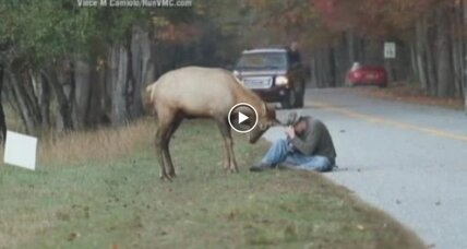 Elk euthanized for being too people-friendly