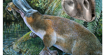 'Godzilla' platypus: Twice as big as today's platypus