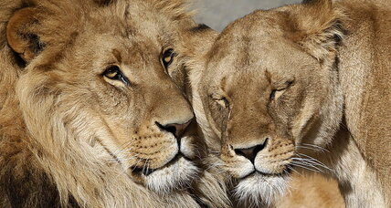 Lion kills lioness: Dallas zoo lion shocks trainers (+video)