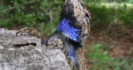 Female lizards with beards not attractive, report other lizards