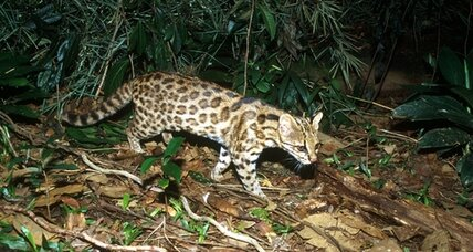 New 'little tiger cat' species found in Brazil