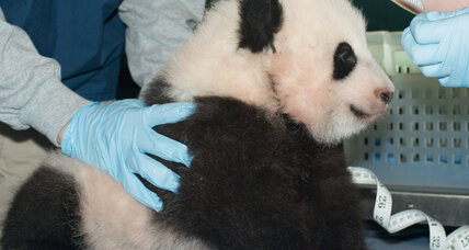 National treasure: Panda cub named Bao Bao