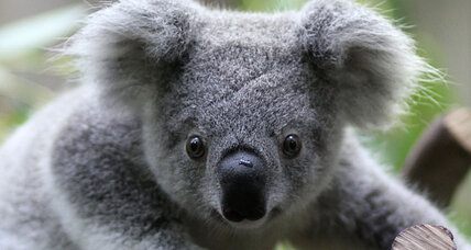 Scientists discover bizarre 'organ' in koalas