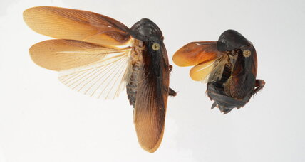 Periplaneta japonica: New cockroach in town sneers at a New York winter (+video)