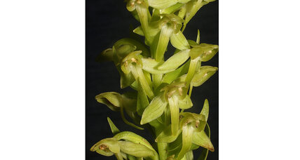 New orchid species discovered in volcanic 'lost world'