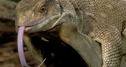 Monitor lizards breathe like dinosaurs, say scientists