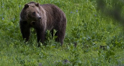 Grizzly bear comeback? Feds move to delist as a 'threatened' species