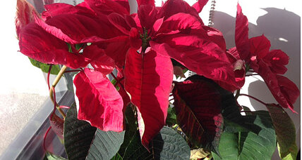 Poinsettia shakedown: Italian mafia makes shop owners offer they can't refuse