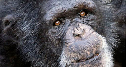Rights for chimps: Group seeks 'personhood' for 4 chimps in NY