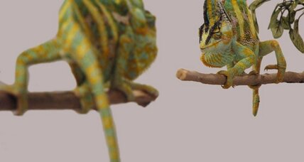 Before battle, male chameleons change color